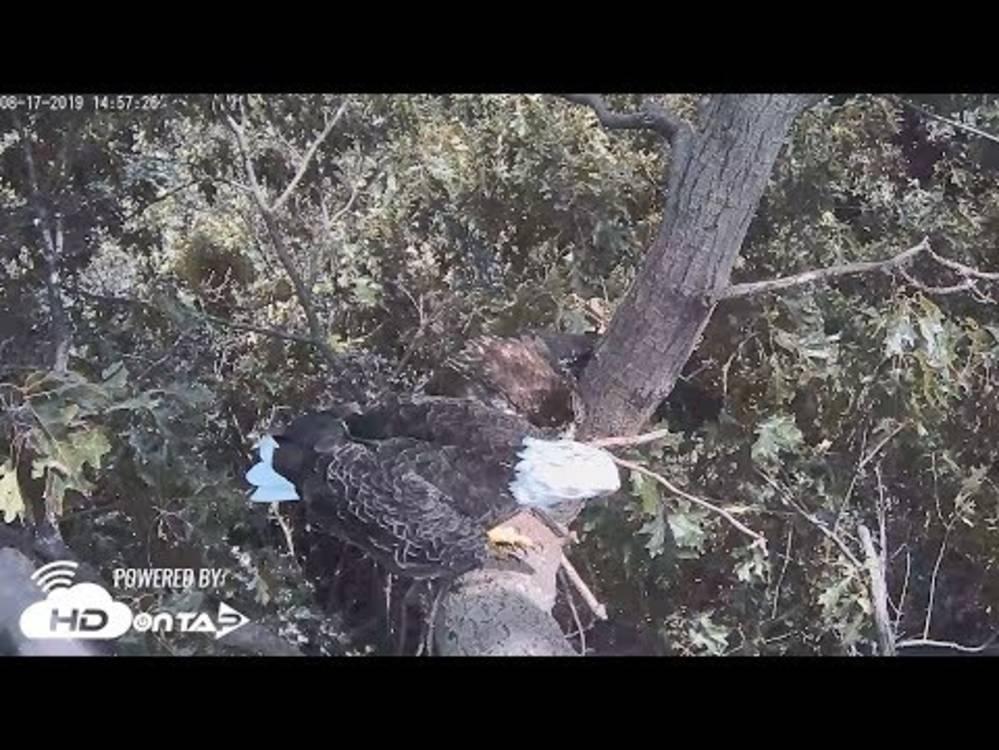 Live Streaming Bald Eagle Nest Cam Hanover, PA   HDOnTap com