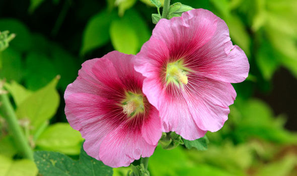 Brilliant Alan Titchmarsh Tips On Growing Hollyhocks Express Co Uk Download Free Architecture Designs Ponolprimenicaraguapropertycom