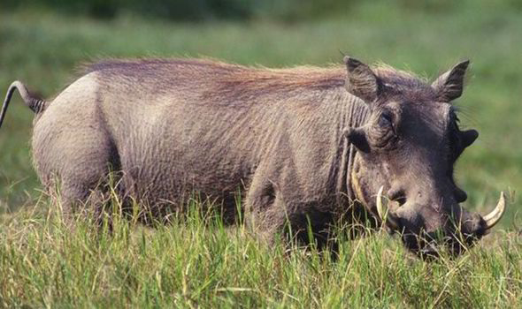 Wild boar on the loose in Alderney \'swum over from France\'   Weird ...