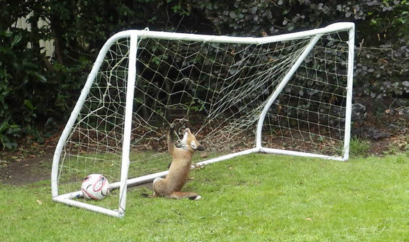 Rspca Warn Of Dangers Of Football Nets As Foxes Get Caught Nature