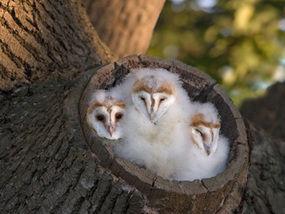 Fluffy Baby Owls Find Their Wings Weird News Express Co Uk