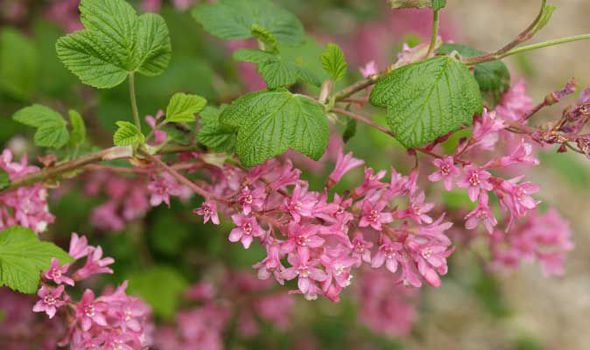 Alan Titchmarsh Tips On Growing Currant In Your Garden Express