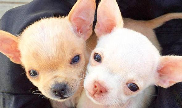 meet the adorable orphaned california chihuahua puppies needing home