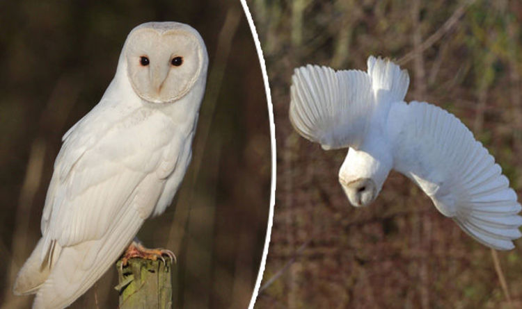 Springwatch Viewers In Awe Of A Barn Owl One Of The Best Birds In