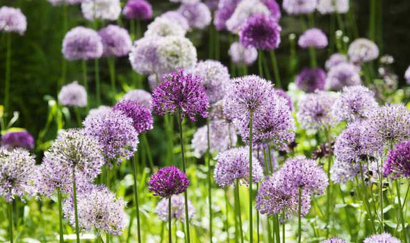 Alan Titchmarshs Tips On Growing Allium In Your Garden Express