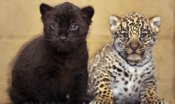 Spot The Difference Two Rare Jaguar Cubs Born At Kent Safari Park