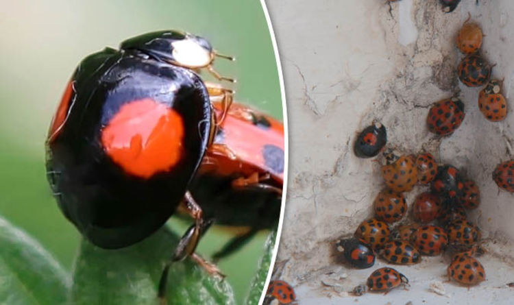 Black ladybirds with STDs INVADE UK homes: How to spot and