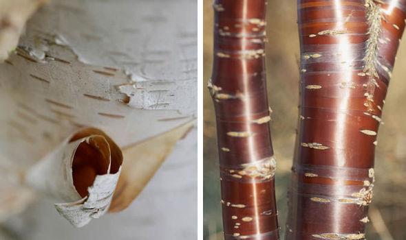 Five trees with beautiful winter bark express bark mightylinksfo