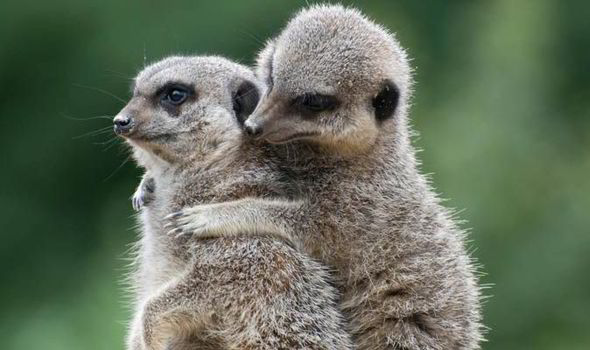Image of: Iphone Cuddling Meerkats And Smooching Snails Love Is In The Air In The Animal Kingdom Nature News Expresscouk Daily Express Cuddling Meerkats And Smooching Snails Love Is In The Air In The