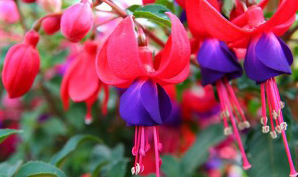 Alan titchmarsh on planting fuschias in hanging baskets express pick trailing fuschias that flop and branch freely for hanging baskets theyll look sensational getty mightylinksfo