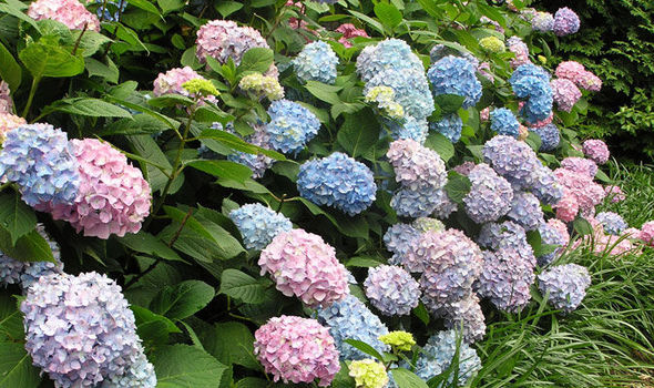 Alan Titchmarsh's tips on growing hydrangeas in your garden