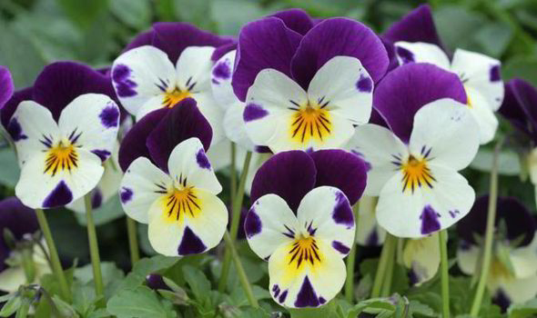 How To Tell The Difference Between Violas And Pansies Expresscouk