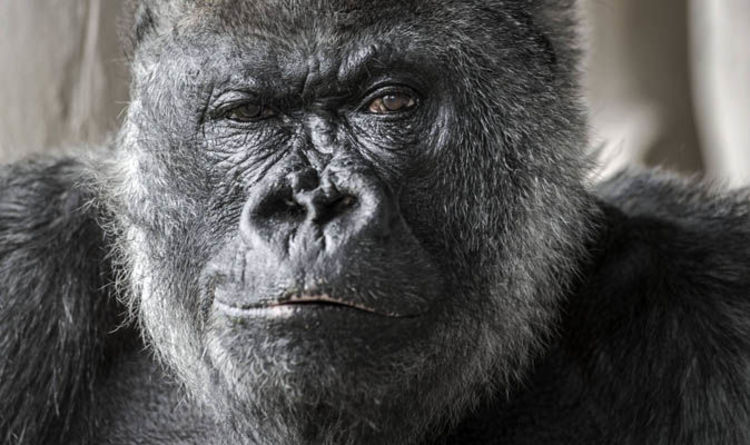 Image result for silverback gorilla