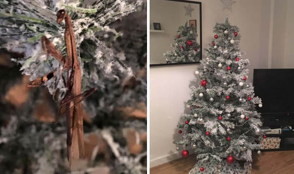 Terrified couple find PRAYING MANTIS in their Christmas tree as they ...