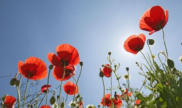 Top 10 facts about poppies express express top 10 top 10 facts about poppies facts about poppies poppies mightylinksfo