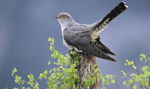 great cuckoo race begins as birds flock back to uk and you can bet