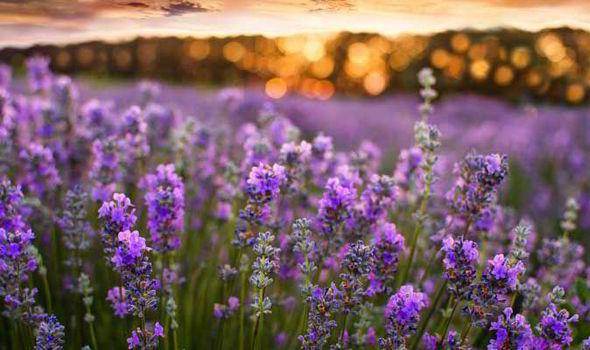 Alan Chmarsh Tips Growing Lavender Garden