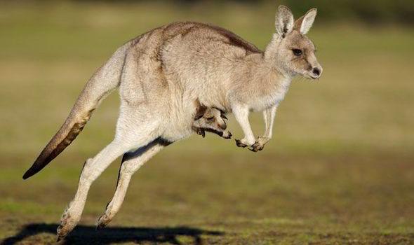 top ten facts about kangaroos express co uk