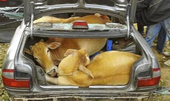The Cows Were Squeezed Into Back Of Car