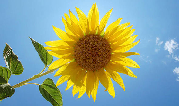 44e063842f601 Six of the best top tips for growing sunflowers
