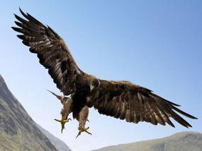 01 Royal Raptor Deer Eagle Jpg