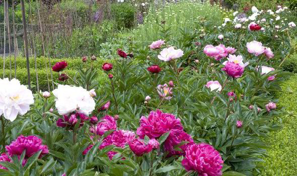 Alan Titchmarsh tips on growing peonies in your garden
