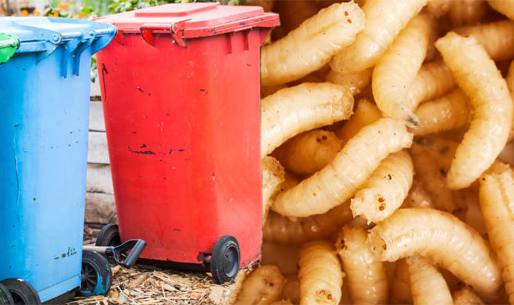 Maggots: How to get rid of disgusting maggots in your wheelie bin with one  simple trick