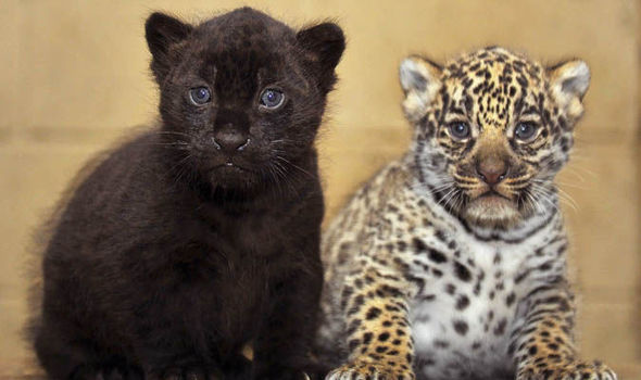 Superior Two Jaguar Cubs In A Zoo