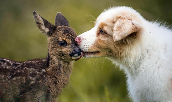 Puppy Kissing Young Deer On The Nose