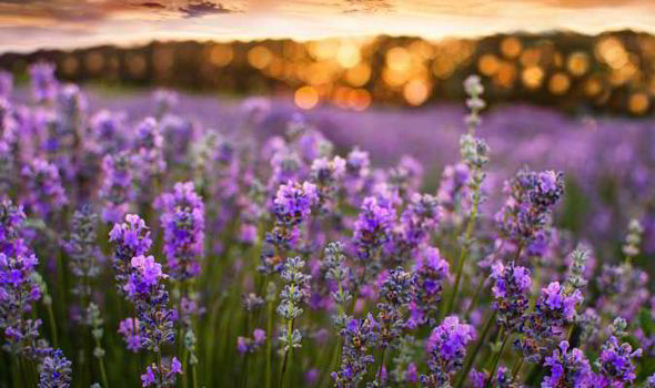 Alan Titchmarsh's tips on growing lavender in your garden