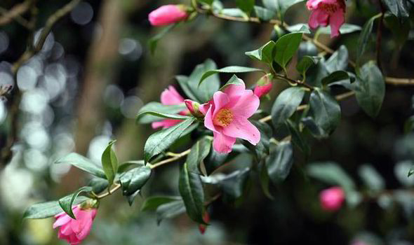 Best Six Early Spring Flowering Shrubs Express