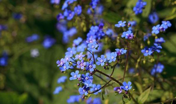 Plant Of The Week Perennial Forget Me Not Alan Titchmarsh
