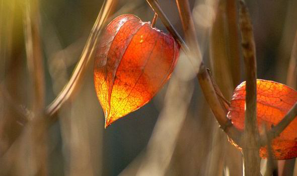 how to grow chinese lantern plants express co uk