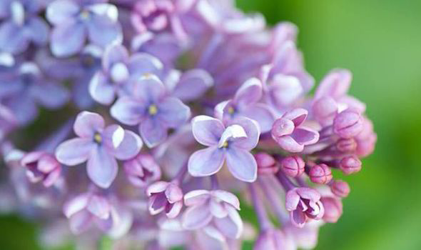 Valuable care for a mature lilac bush