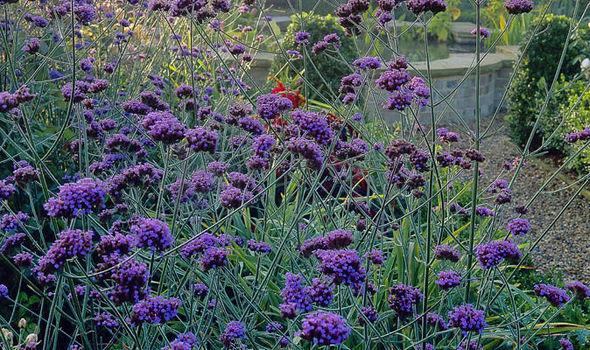 Rhs says late flowering plants help our garden butterflies and bees verbena bonariensis mightylinksfo