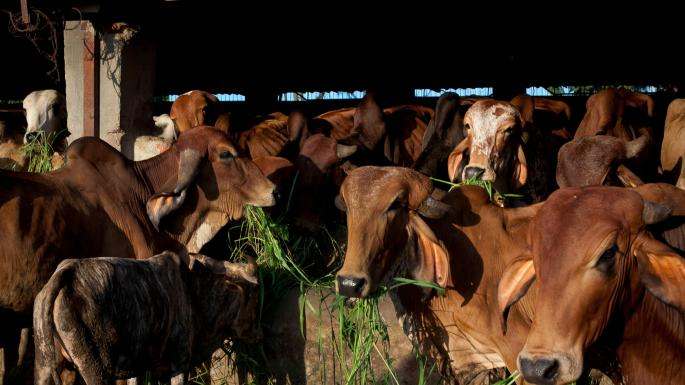 Cow urine may cure cancer, Indian minister says | The Times