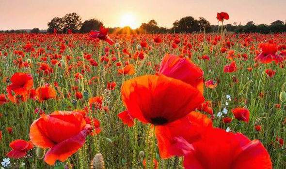 Grow With Pride The Reason We Remember Wwi With Poppies Wwi