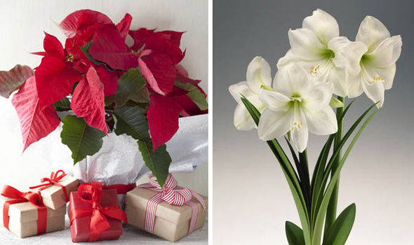 Poinsettias and amaryllis are Christmas plant favourites for TV ...