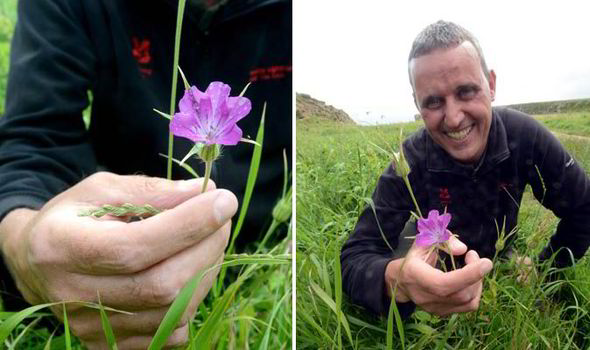 Poisonous corncockle spotted in the uk uk news express flower corncockle poisonous plant pretty pink extinct found mightylinksfo