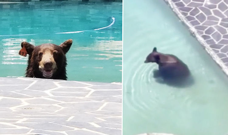 WATCH: Viral video captures a brown bear cooling off in LA family