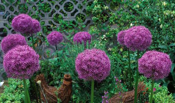 Merveilleux Allium Globemasters ...