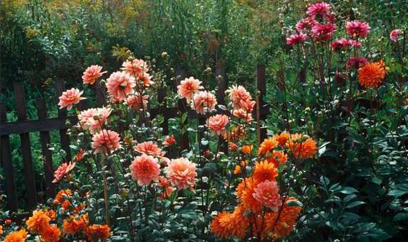 Spring, Gardening, Tips, Dahlia, Alan Titchmarsh