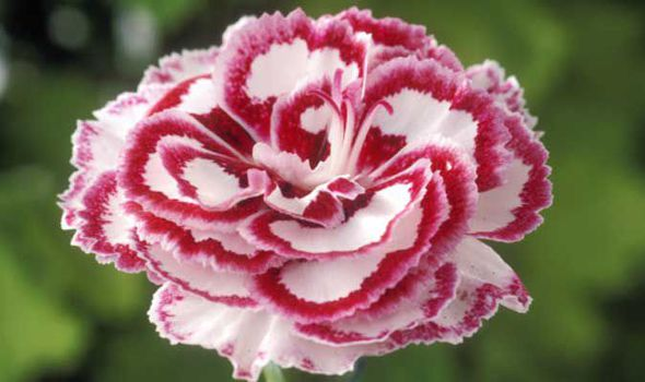 Alan Titchmarshs Tips On Growing Pink Flowers In Your Garden