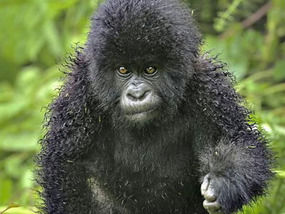 Bad Hair Day For Gorilla In A Frizz Weird News Express Co Uk
