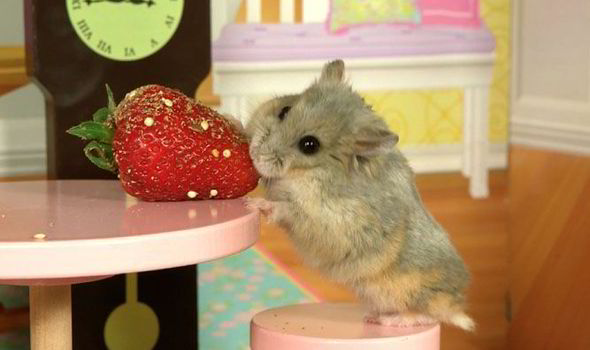 Little Chicken Takes A Nibble On An Enormous Strawberry