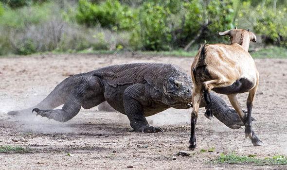 komodo dragons hunt and kill goat travel news travel express co uk