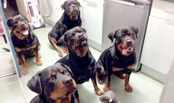 are rottweilers good family dogs