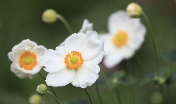 Five of the top flowers for september express japanese anemone top the list of the best flowers for a garden in september mightylinksfo