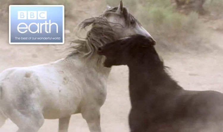 Planet Earth 2 New Footage Of Deadly Duel Between Two Mustang Stallions