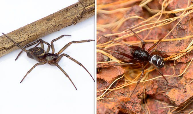 How To Spot False Widow Spiders What To Do If The False Widow Spider Bites You Advice Nature News Express Co Uk
